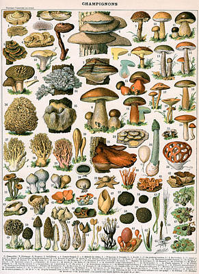 Mushroom Painting - Decorative Print Of Champignons By Demoulin by American School