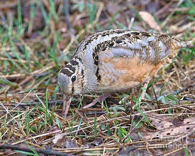Woodcock Photograph - Deep Probe Woodcock by Timothy Flanigan