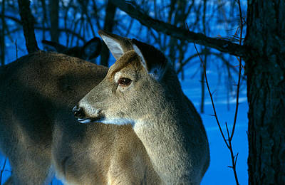 Hiding Photograph - Deer Doe In Snowy Woods, Close by Panoramic Images