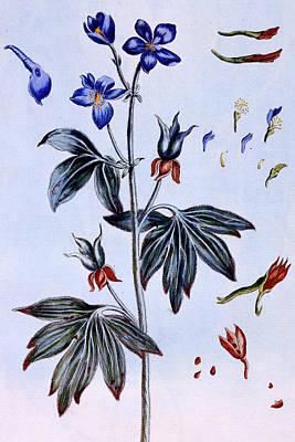 Delphinium Print by Pierre-Joseph Buchoz