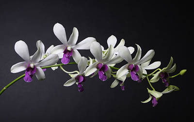 Studio Photograph - Dendrobium Orchid by Lynn Berreitter