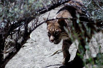Bobcat Photograph - Desert Bob Cat by LeeAnn McLaneGoetz McLaneGoetzStudioLLCcom