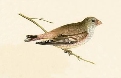 Desert Drawing - Desert Trumpeter Bullfinch by English School