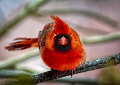 Wild Orchards Photograph - Determined Cardinal  by LeeAnn McLaneGoetz McLaneGoetzStudioLLCcom
