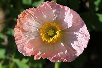 Dew Drop Poppy Print by Tammy Pool