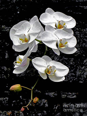 Dew-kissed Cascading Orchids Print by Sue Melvin
