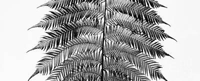 Dicksonia Antarctica Frond Panoramic Print by Tim Gainey