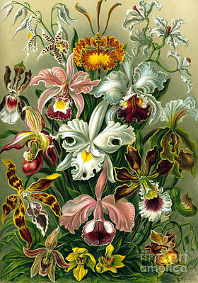 Orchids Drawing - Different Varieties Of Orchid by Ernst Haeckel