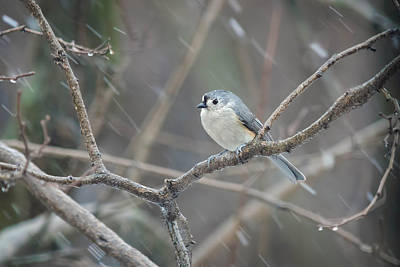 Avian Photograph - Disgruntled Tufted Titmouse by Benjamin DeHaven