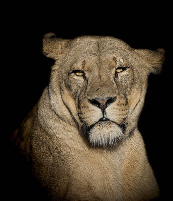 Lioness Photograph - Displeasure by Paul Neville