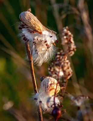 Milkweed Photograph - Ditch Floozy by Steve Harrington