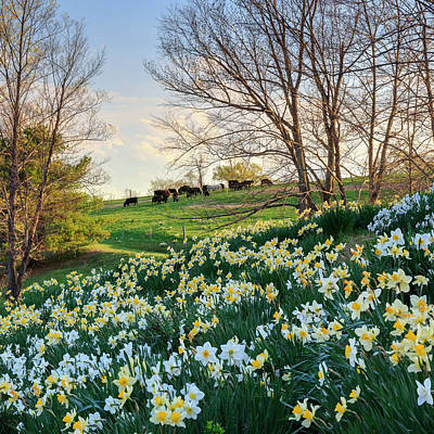 Daffodils Photograph - Divine Bovines Square by Bill Wakeley
