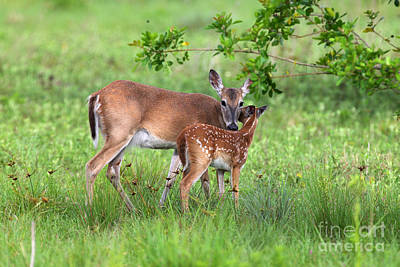 Photograph - Doe And Fawn by Rick Mann
