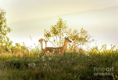 Doe On Sunlit Hill Print by Robert Frederick