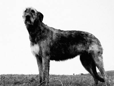 Irish Wolfhound Photograph - Dog: Irish Wolfhound by Granger