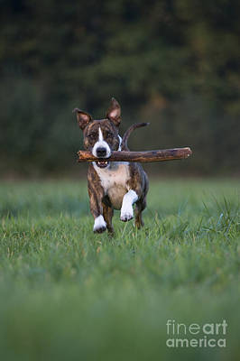 Dog Playing With Stick Print by Jean-Louis Klein and Marie-Luce Hubert