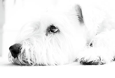 Wheaten Terrier Photograph - Dog Waiting by Nicky Bond