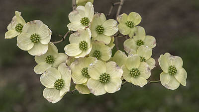 Cornus Photograph - Dogwood Dance In White by Don Spenner