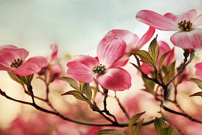 Dogwood Photograph - Dogwood Dreams by Jessica Jenney