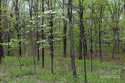 Photograph - Dogwood In Missouri Forest by Adam Long