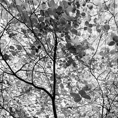 Dogwood Photograph - Dogwood  by Joseph Smith
