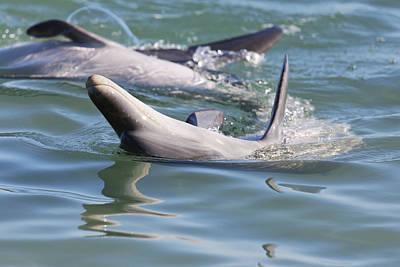 Monkey Mia Photograph - Dolphins Playing by Lenscraft Niel Morley