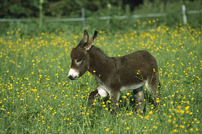 Baby Donkey Photograph - Donkey Equus Asinus Foal In Field by Konrad Wothe