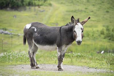 Donkey Print by Juli Scalzi
