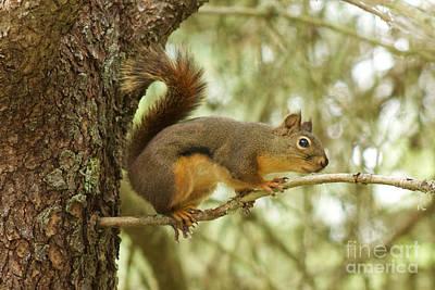 Photograph - Douglas Squirrel by Sean Griffin