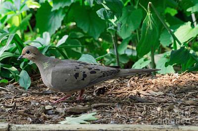 Dove Photograph - Dove by Chris Baboolal