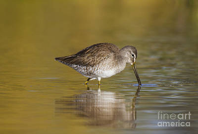 Birds Photograph - Dowitcher On A Golden Lake by Ruth Jolly