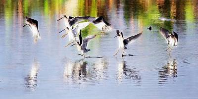 Dowitcher Photograph - Dowitcher's Reflective Landing by Barbara Chichester