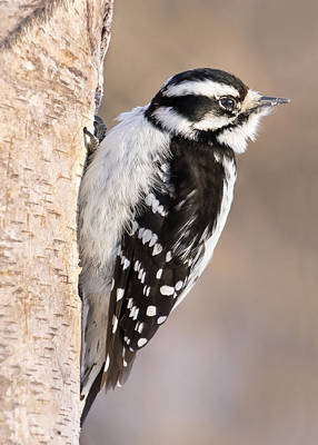 Woodpeckers Photograph - Downy Woodpecker by Jim Hughes