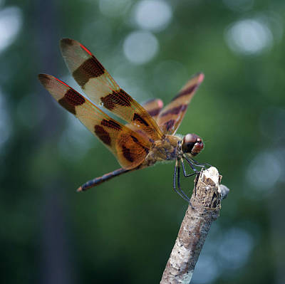 Flying Spider Photograph - Dragon Fly 8-2 by Skip Willits
