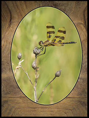 Dragon Fly On Tortoise Shell Print by Thomas Young