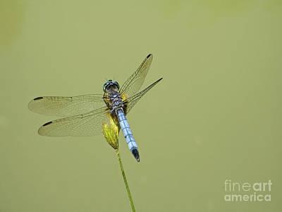 Dragonfly Print by Andrew Kazmierski