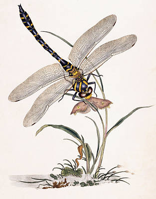 Insects Drawing - Dragonfly by Edward Donovan