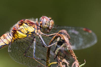 Darter Photograph - Dragonfly by Ian Hufton