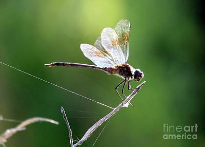 Flying Spider Photograph - Dragonfly Sunshine by Carol Groenen