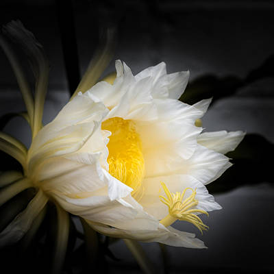 White Flower Photograph - Dragon's Bloom by Joseph Smith