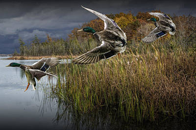Wild Ducks Photograph - Drake Mallard Ducks Coming In For A Landing by Randall Nyhof