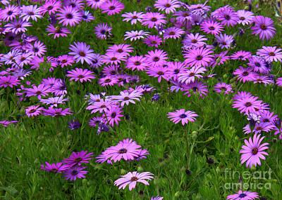 Dreaming Of Purple Daisies  Print by Carol Groenen