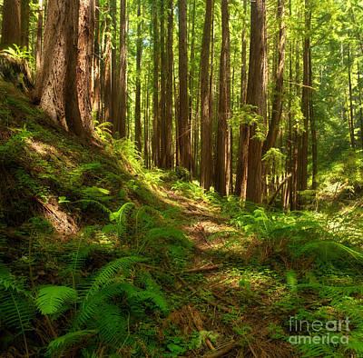 Forest Floor Photograph - Dreamy California Redwoods by Matt Tilghman
