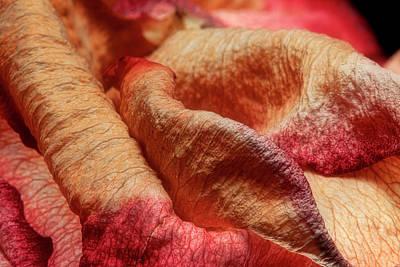 Dried Rose Petals II Print by Tom Mc Nemar