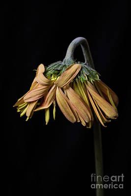 Drooping Yellow Gerbera Daisy Print by Edward Fielding