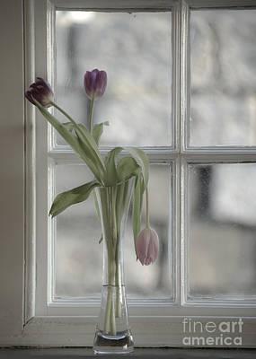 Droopy Tulip  Print by Rob Hawkins