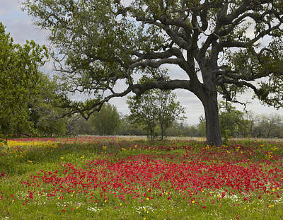 Drummonds Phlox Meadow Near Leming Texas Print by Tim Fitzharris