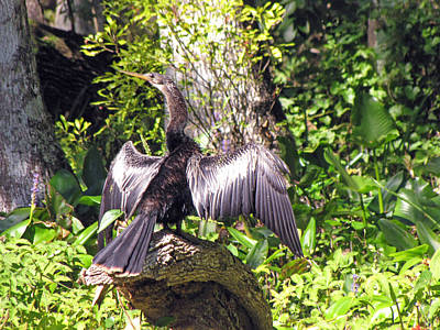 Anhinga Painting - Drying Out by Martha Ayotte