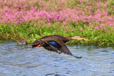 Photograph - Duck In Flight by Rick Mann