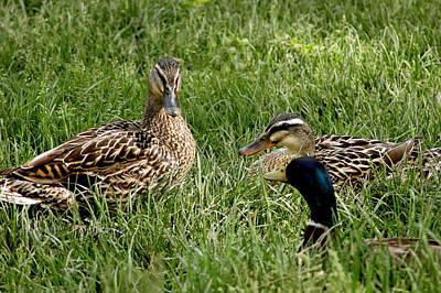 Drake Photograph - Duck Meeting At Frankenmuth by LeeAnn McLaneGoetz McLaneGoetzStudioLLCcom